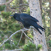 Raven Nearby Watching Old Faithful  - Yellowstone National Park 9-6-05