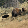 Little Bison Follows the Big Ones  - Yellowstone National Park  9-5-05
