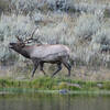 Is This Elk Singing or Moaning   - Yellowstone National Park  9-5-05