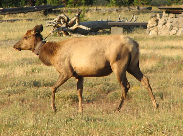 Strange Radio Collar on Elk   - Yellowstone National Park  9-5-05