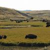 Herds of Bison at Elk Antler Creek  - Yellowstone National Park  9-5-05