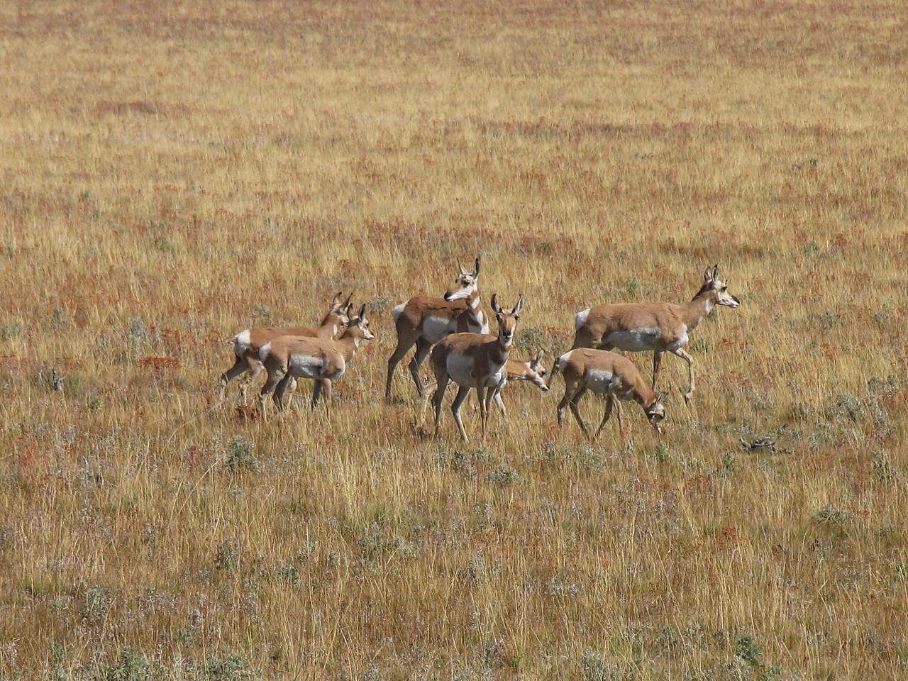 Antelope near Bridger-Teton National Forest - September 2004