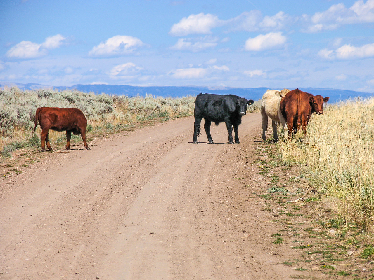 Cattle slow to clear the road, Bridger-Teton National Forest - September 2004