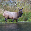 Along the Madison River, a bull elk looks to cross the river.....