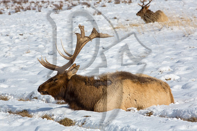 An Elk rests at the National Elk Refuge in Jackson, WY