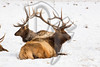 A pair of Elk rest at the National Elk Refuge in Jackson, WY