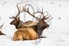 A pair of Elk rest at the National Elk Refuge in Jackson, WY