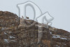 A group of bighorn sheep travel across Miller's Butte near Jackson, WY