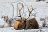 An Elk rests at the National Elk Refuge in Jackson, WY
