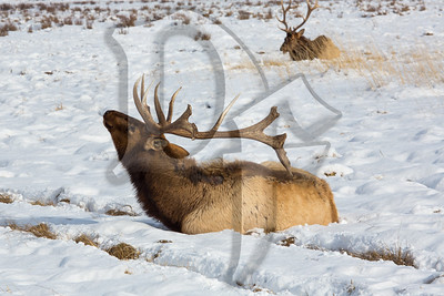 An Elk uses nature's back scratcher at the National Elk Refuge in Jackson, WY