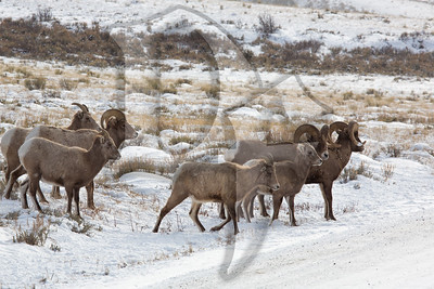 A group of bighorn sheep cross a road in the National Elk Refuge near Jackson, WY