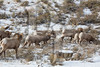 A herd of bighorn sheep graze in the National Elk Refuge near Jackson, WY