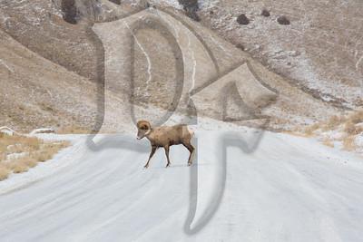 A lone Ram crosses the National Elk Refuge Road