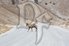 A lone Ram crosses the National Elk Refuge Road
