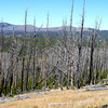 Snags from the big fire (YNP)