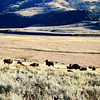 Bison Herd in the Lamar Valley (YNP)