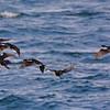 Imperial Cormorant [Phalacrocorax atriceps]