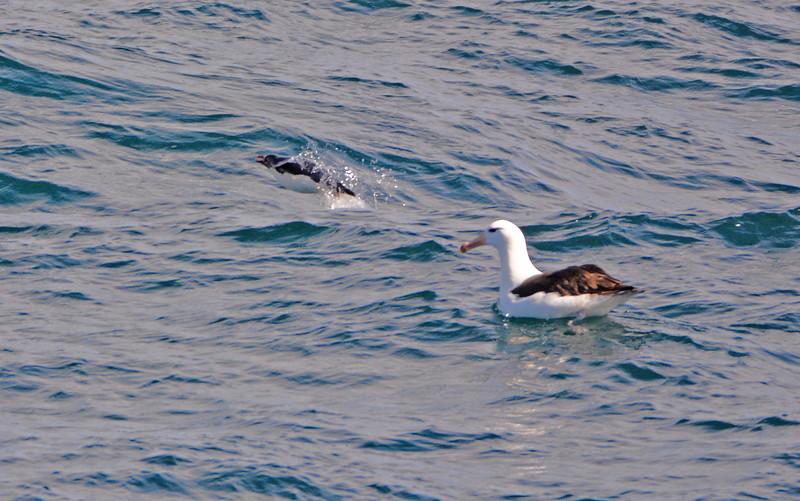 Southern Rockhopper Penguin and Black-Browed Albatross