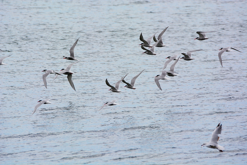 South American Terns (Sterna hirundinacea)