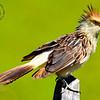 Guira Cuckoo [Guira guira]
