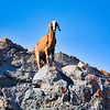 Andean Goats - well?  goats residing in the Andes ;)