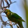 Red-crowned Parakeet (Cyanoramphus novaezeleandiae novaezeleandiae)