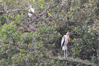 Milky Stork & Painted Stork