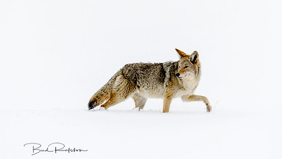 Traveling coyote
