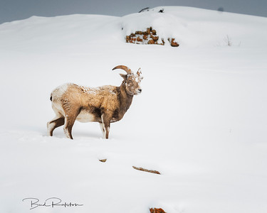 Bighorn female sheep  5BR5439
