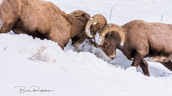 Bighorn rams in conflict