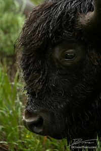 Rainy Bison Portrait