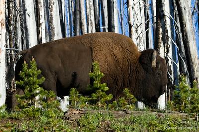 Bison in Burnt Forest