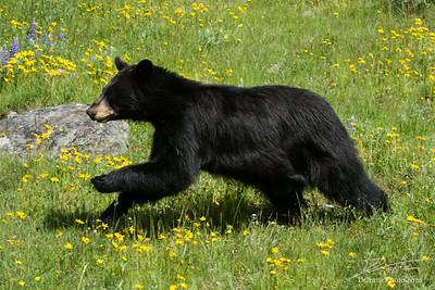 Black Bear Running Through Field of Flowers