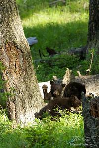 Bear Cub Waving at Camera