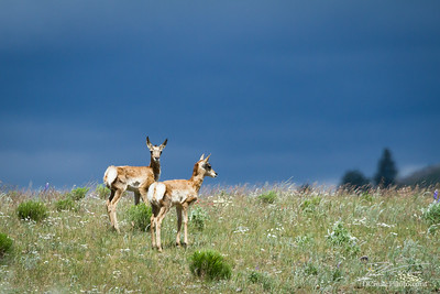 Twin Pronghorns