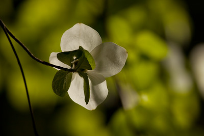 Dogwood backlit