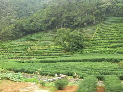 Hangzhou Tea Plantation