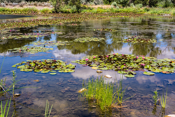 Lilly pond at Yakima Sportsmen SP.