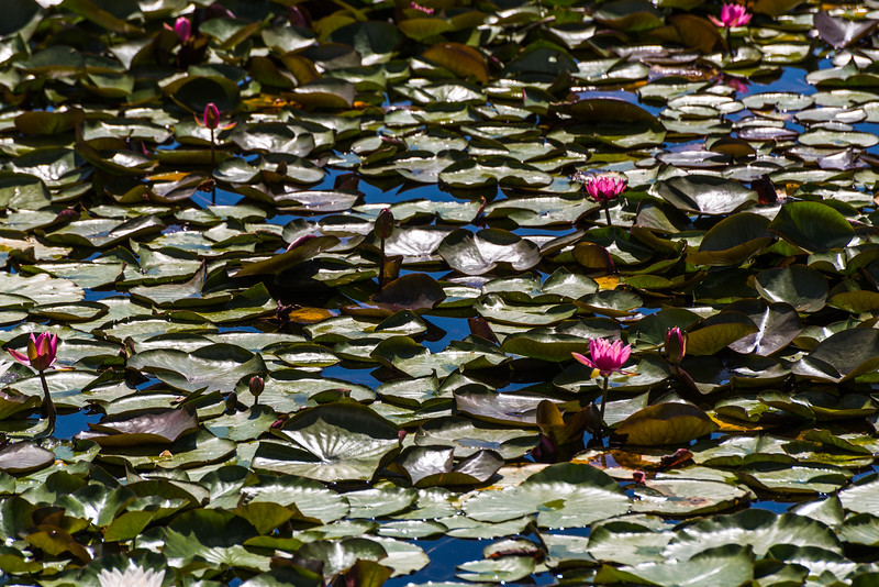 Lilly pads and blooms
