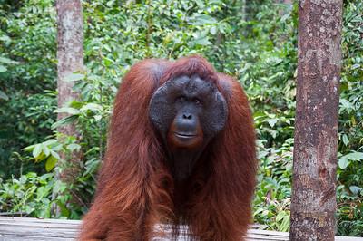 Orangutan of Borneo Indonesia
