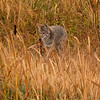 3-Oct 7:13 am<br /> <br /> Coyote - across from Mary Bay