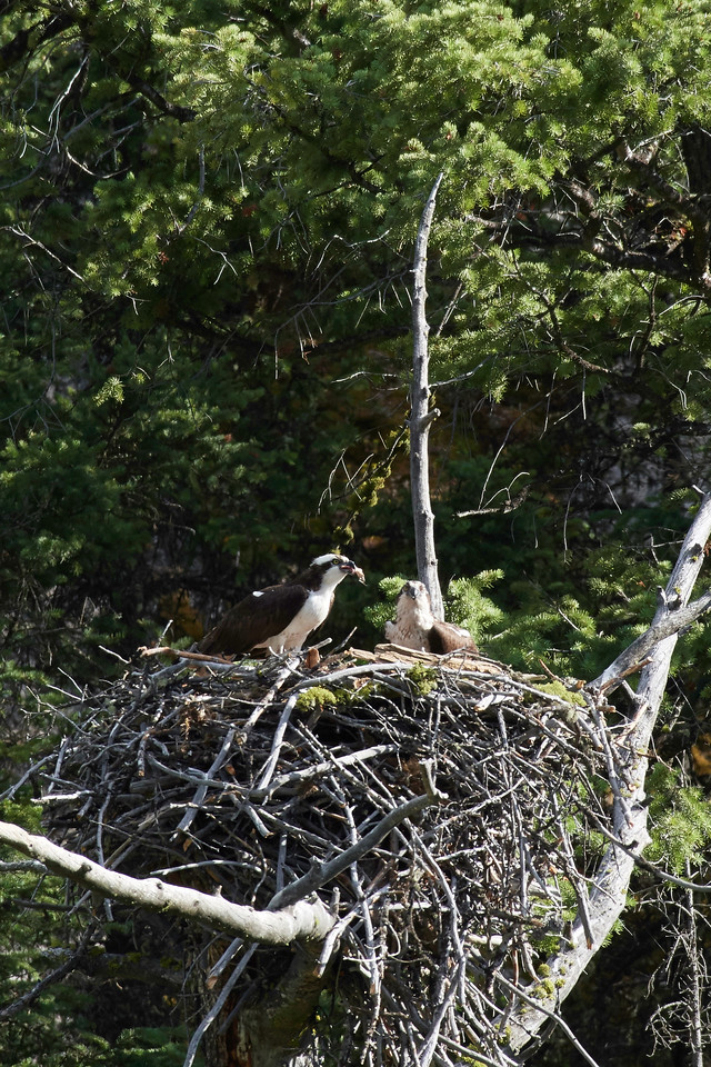 Osprey Feeding Chick in Nest, Lamar Canyon