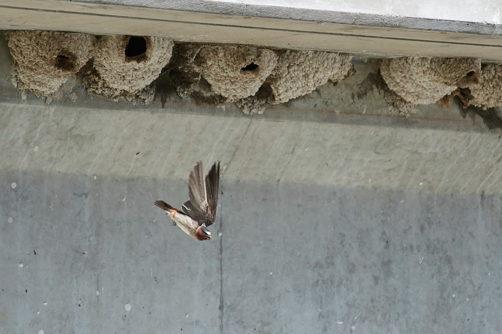 Cliff Swallow and nests above Firehole River