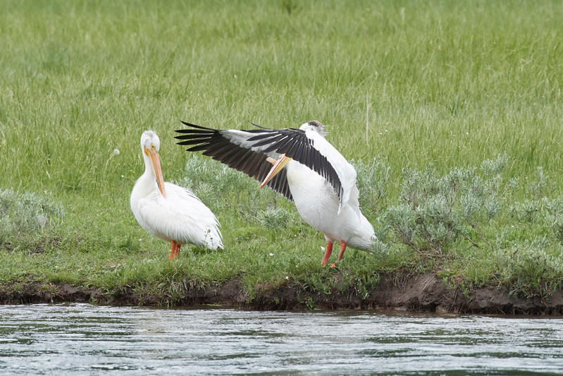 American White Pelicans, Yellowstone River