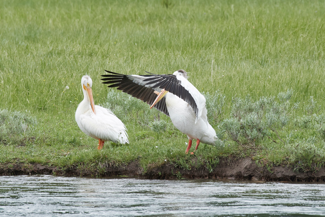 American White Pelicans, Yellowstone River