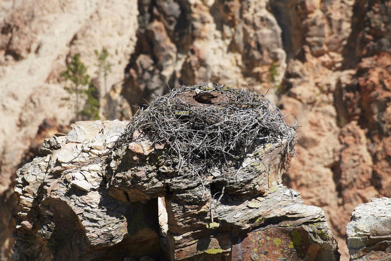 Osprey Nest on a rocky spire, Grand Canyon of Yellowstone