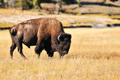 Bison, taken between Norris and Madison Jct.