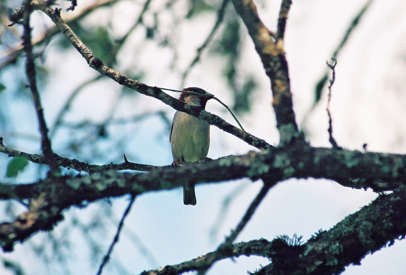 Nest building bird, Columbia Locks