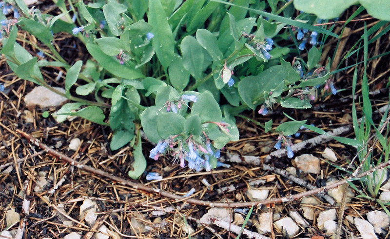 Mountain bluebell (Mertensia ciliata), Logan Canyon, Utah