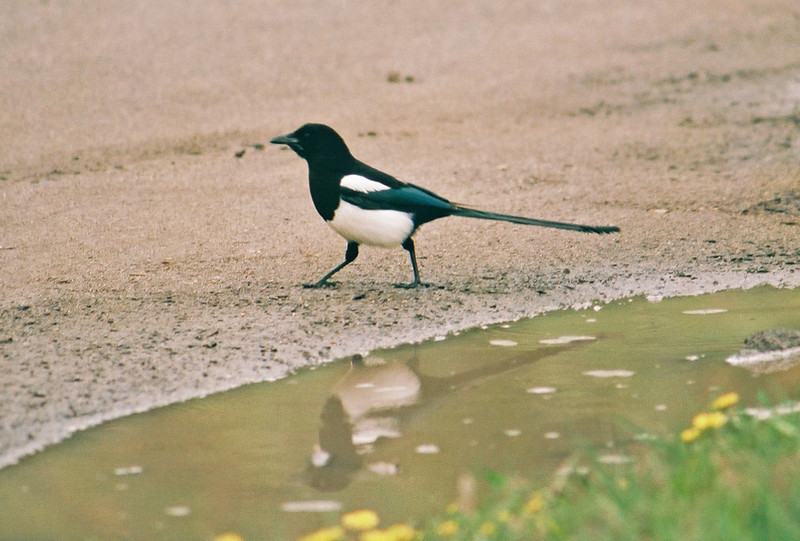 Mammoth Hot Springs - magpie.   I'm not sure I've ever gotten a reflection shot in a mud puddle before.